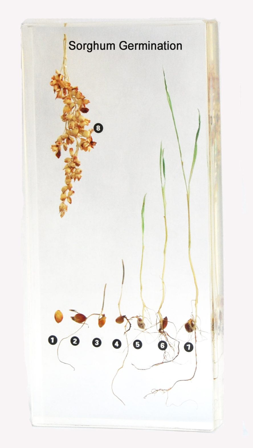 Plant Resin Embedded Specimen Teaching Resources Plant Embedded Specimen ZLF Sorghum Plant Growth History Specimen for School Science Education